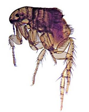 A flea, order Ctenocephalides.