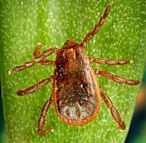 American Brown Dog Tick. Image: www.cdc.gov