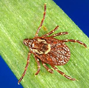 Female American Dog Tick. Image: www.cdc.gov
