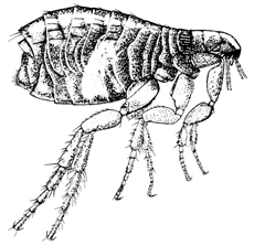 The common cat flea