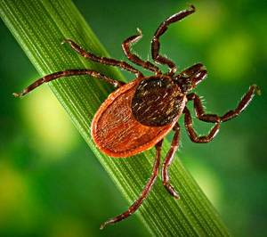 Black-Legged Tick, or Deer Tick. Image: www.cdc.gov