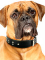 Kakadu Pet Boxer Studded Leather Collar